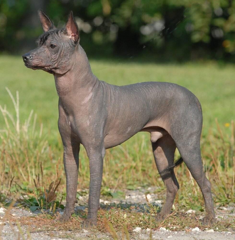 Лысые породы собак. описание, особенности, названия, виды и фото лысых пород собак