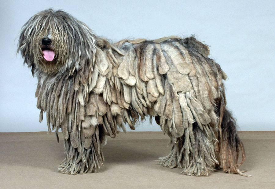 Собака с дредами: название породы питомцев