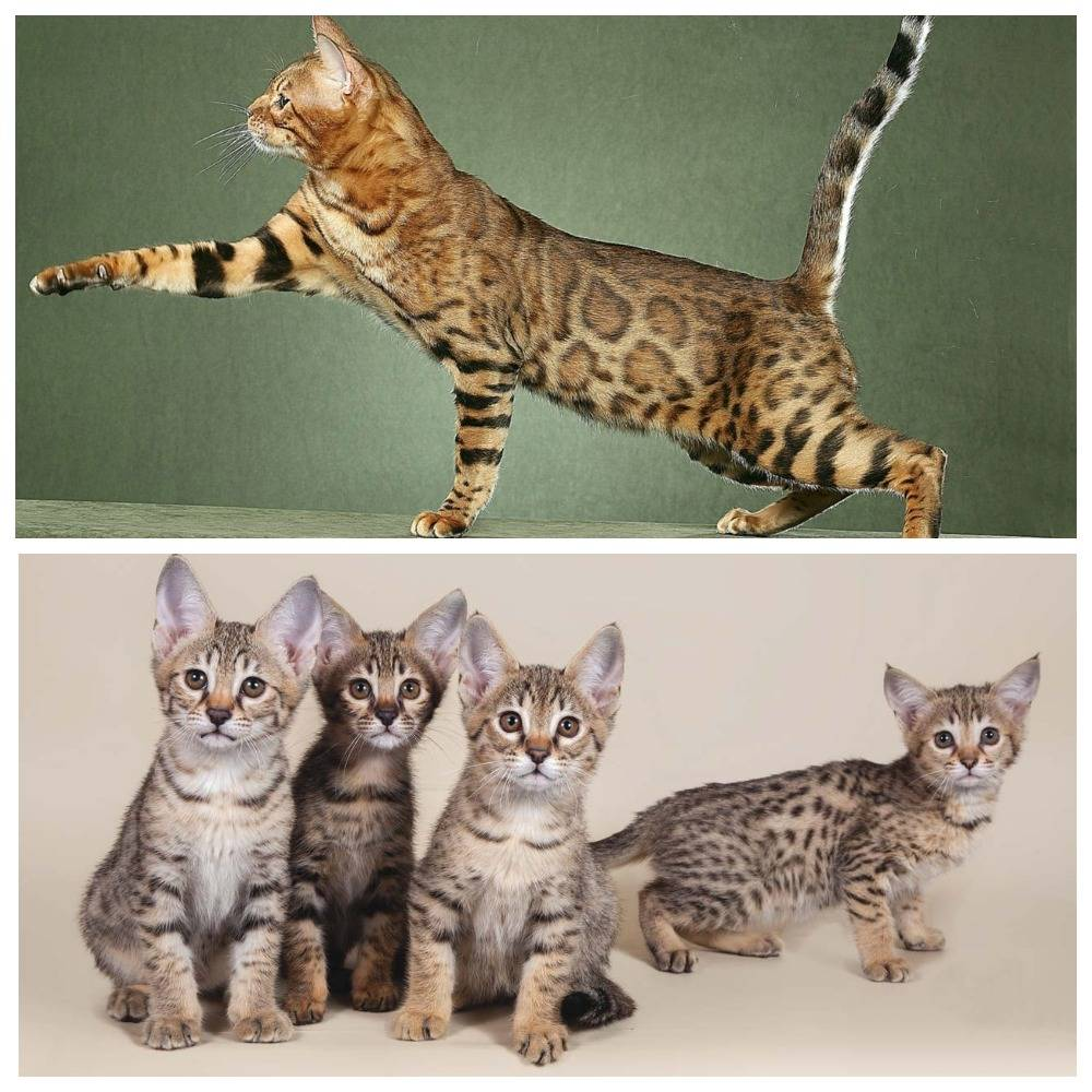 Самые дорогие породы кошек: описание и фото с названиями
