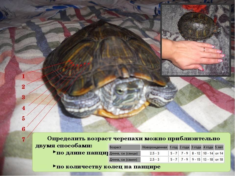 Сколько живут сухопутные черепахи. продолжительность жизни