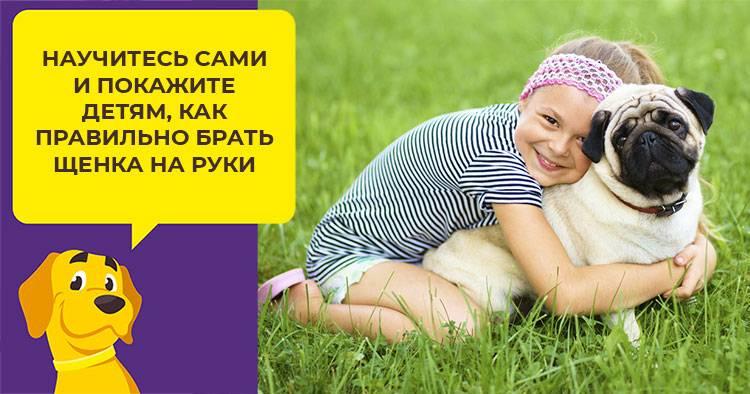 Уход и содержание с кормлением щенка и взрослого мопса в домашних условиях