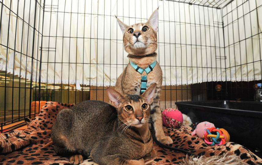 Самая дорогая кошка в мире: рейтинг, описание, цена, фото, видео