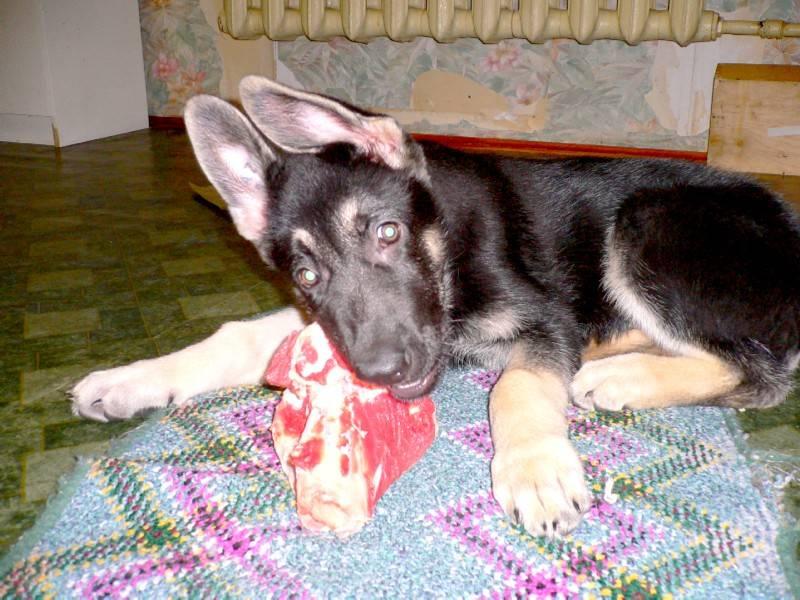Как выглядит немецкая овчарка в 6 месяцев: внешние особенности щенка и правила ухода