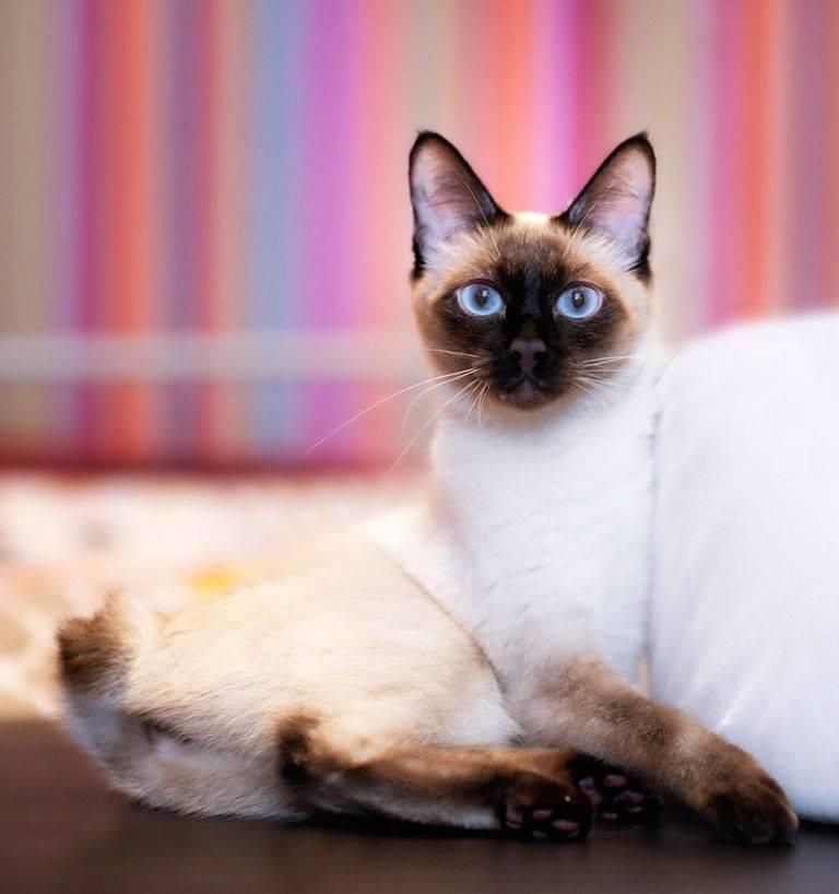 Меконгский бобтейл: описание породы кошек, фото, цена котят