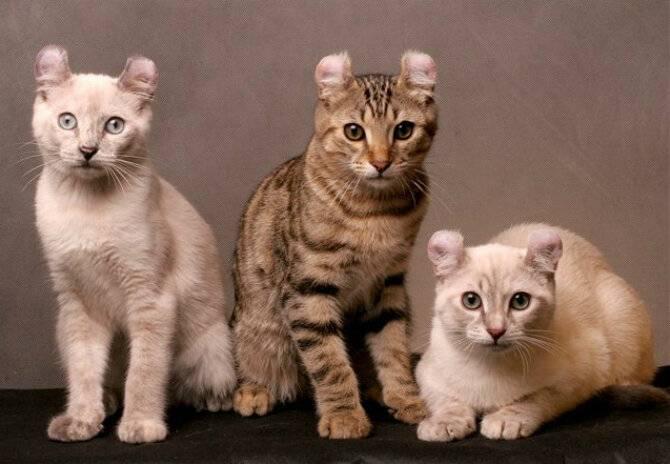 Какая самая дорогая кошка в мире? 18 наиболее дорогих красавиц