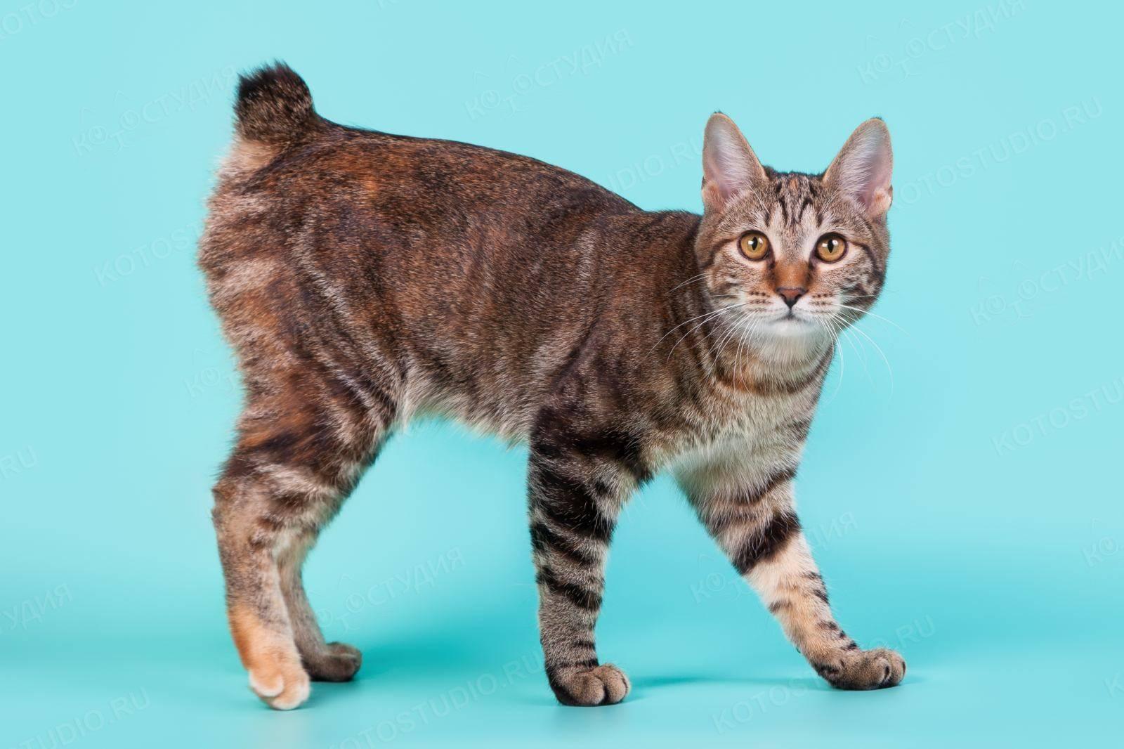 Варианты бесхвостых и короткохвостых котов: примеры названий пород