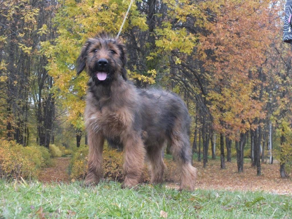 Порода собак бриар: фото, описание французской овчарки, особенности характера и история бриара