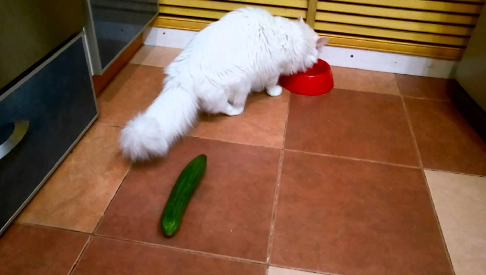 Почему кошки боятся огурцов? несколько фактов о страхе кошек и котов перед огурцами.