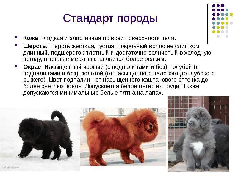 Тибетский мастиф: характеристика породы, фото самого большого с человеком, цена щенков в россии в рублях, сколько стоит собака, ее размеры (рост и вес) с картинками