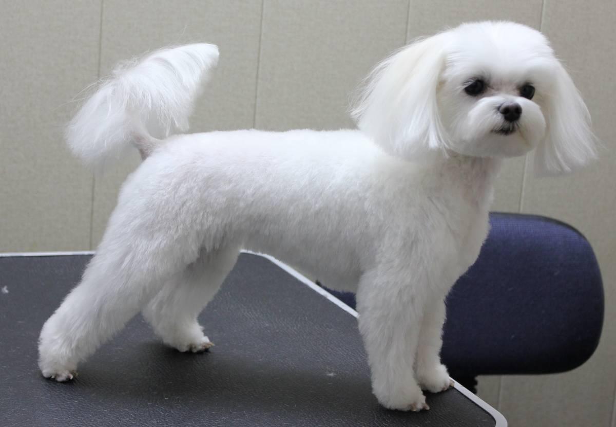 Стрижка мальтезе: фото мальтийской болонки, как подстричь под щенка, виды, груминг девочек, мальчиков