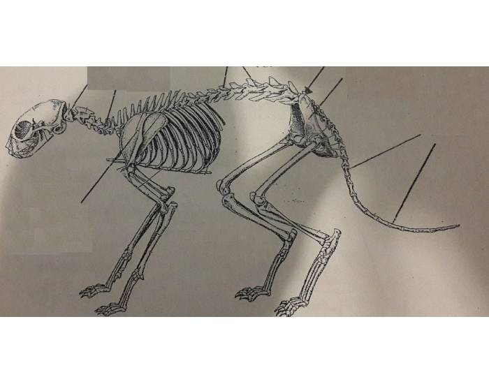 Изучаем анатомию - скелет собаки и строение ее внутренних органов