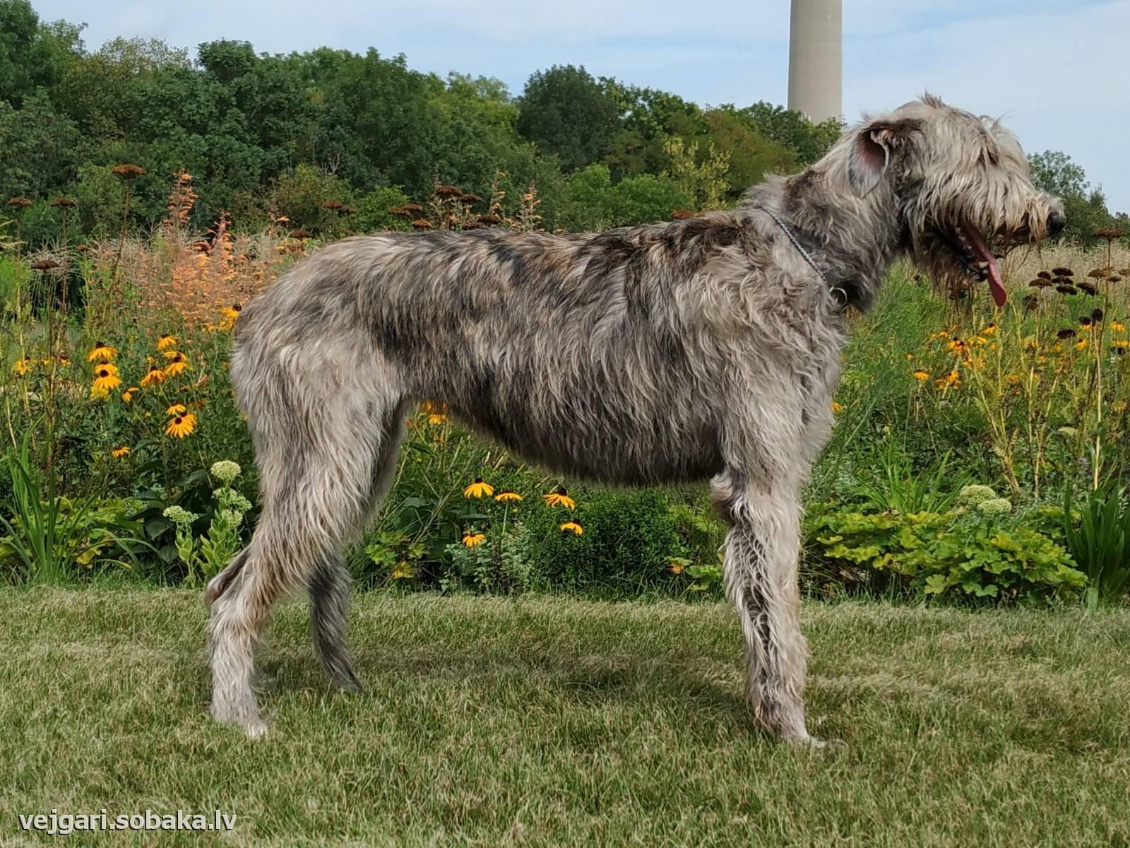 Ирландский волкодав: описание породы, характер и содержание