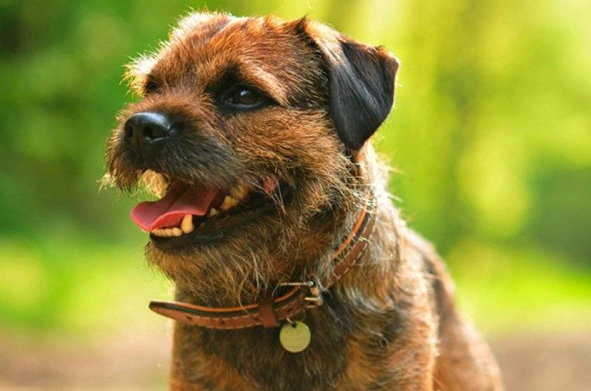 Бордер-терьер: описание породы и ее особенности, отзывы владельцев, продажа и выбор щенков в питомниках