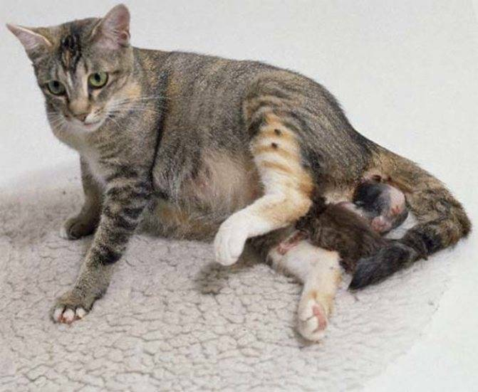 C какого возраста можно глистогонить котят