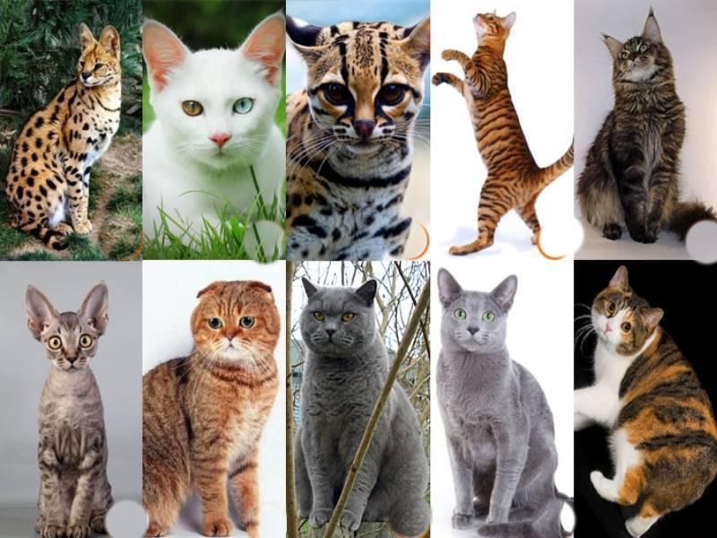 Самые большие породы кошек: топ10 с фото и названиями