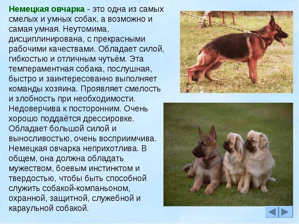 Английская овчарка: характеристики, фото и уход за породой
