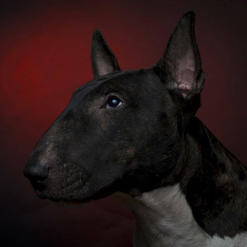 Бойцовские породы собак. описания, названия и виды бойцовских собак | живность.ру