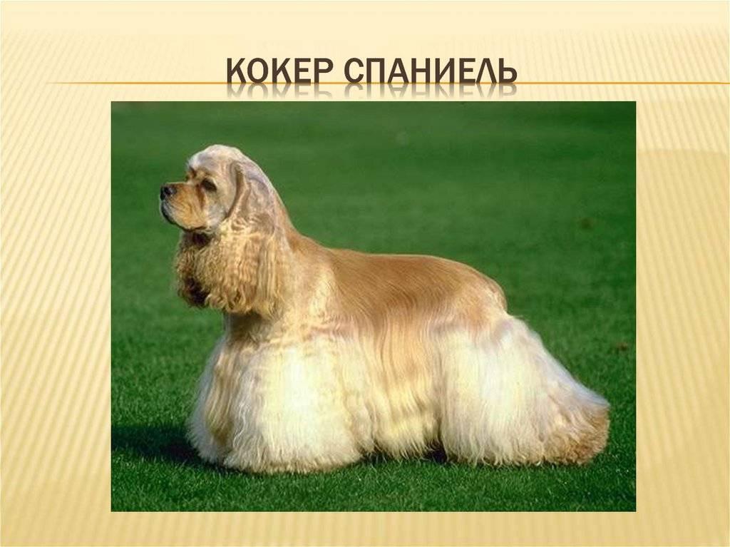 Английский кокер спаниель описание породы ✱ все о собаке - характер, уход и содержание