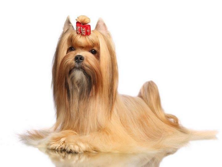 Русская салонная собака: описание породы и особенности ухода