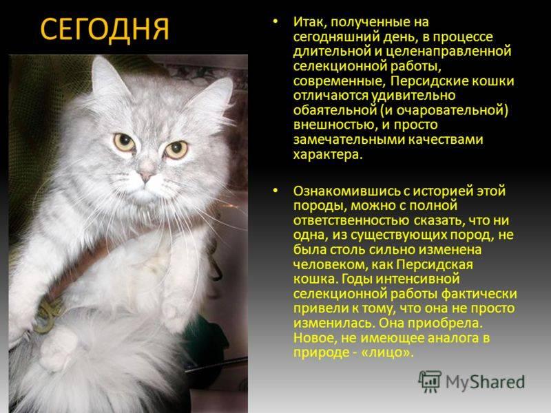 Порода кошек нибелунг, характер и описание