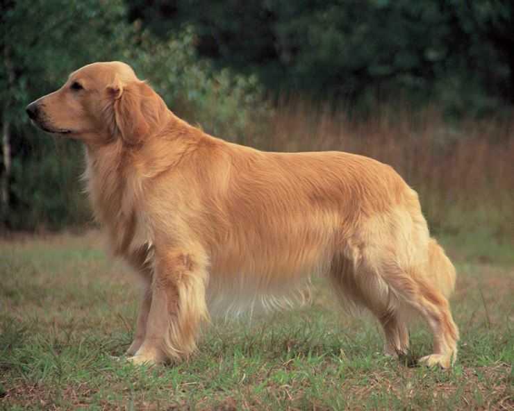 Золотистый ретривер собака. описание, особенности, уход и цена золотистого ретривера | sobakagav.ru