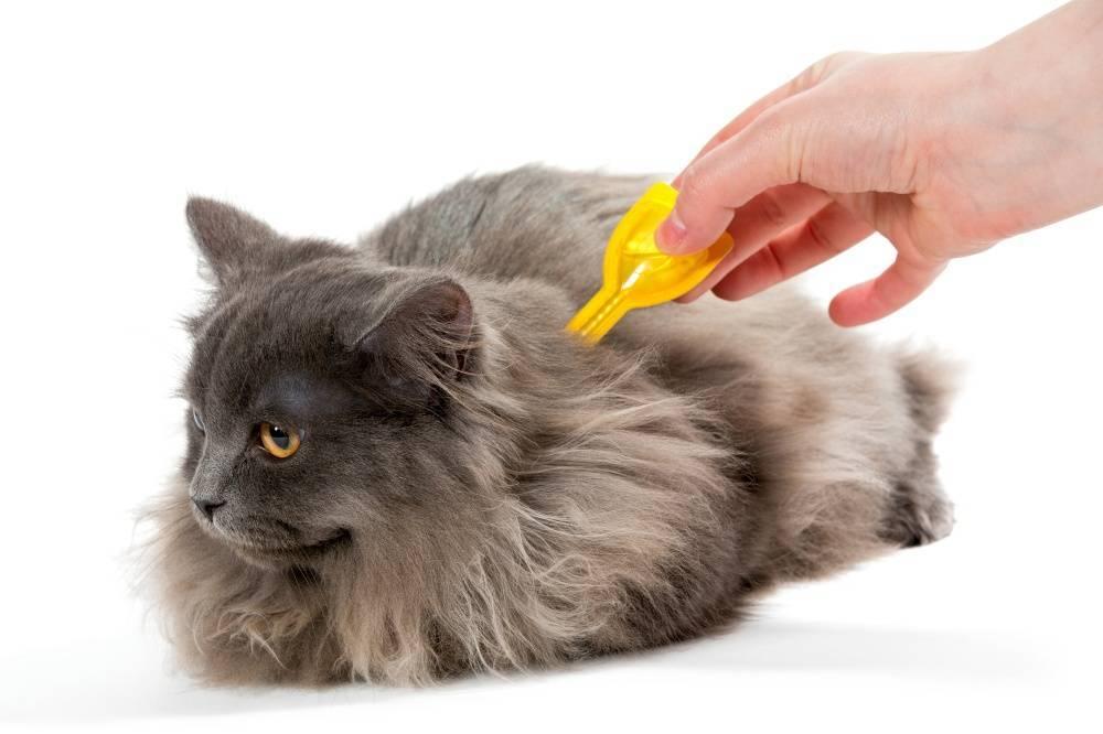 Лечение и профилактика блох у кошек | компетентно о здоровье на ilive