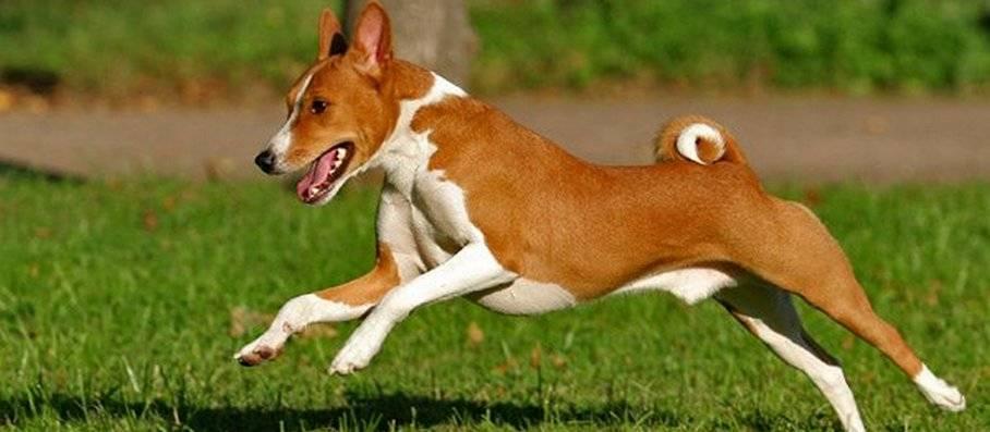 Собака, которая не умеет лаять