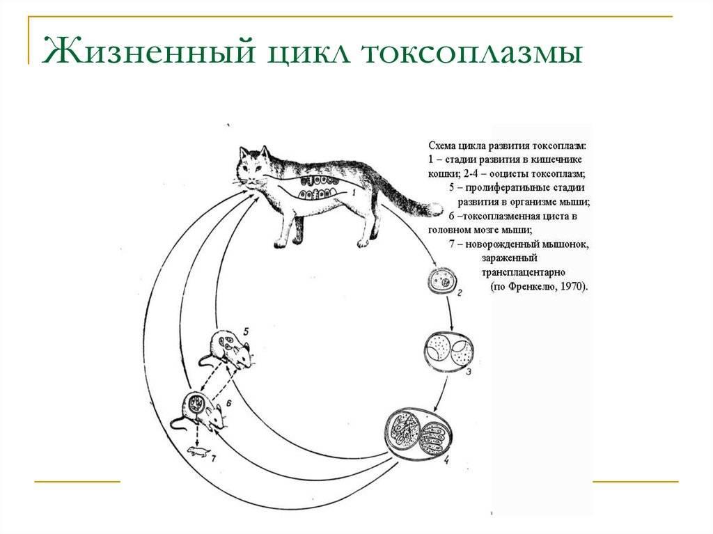 Токсоплазма: как паразит заставляет нас любить кошек - умная