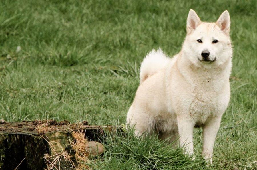 Норвежский бухунд (норвежская лайка): описание породы собак с фото и видео