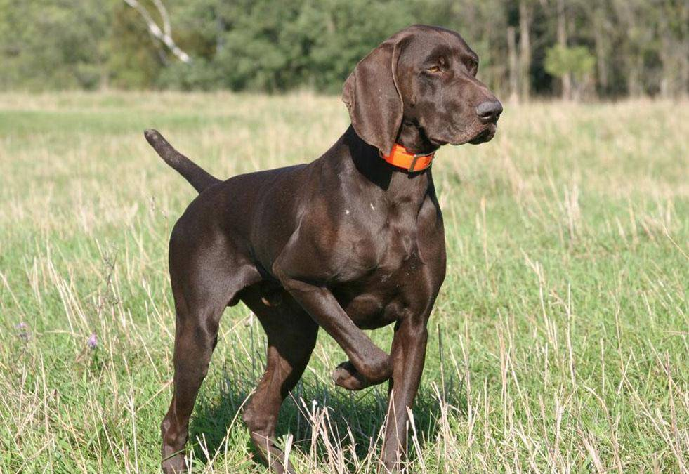 Описание породы курцхаар и характеристика собаки