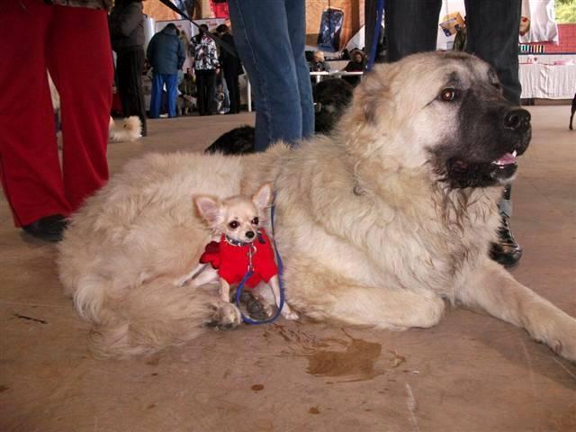 Кавказская овчарка: характеристика породы, происхождение, воспитание собаки и уход за ней
