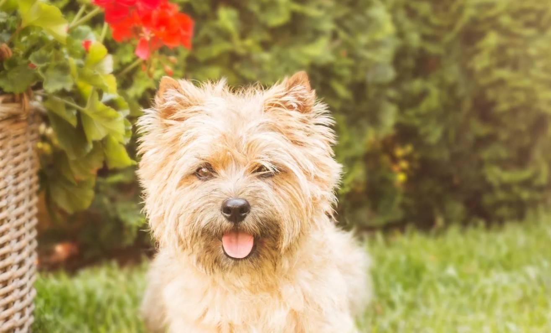 Керн-терьер: все о породе, описание внешнего вида и характера собак