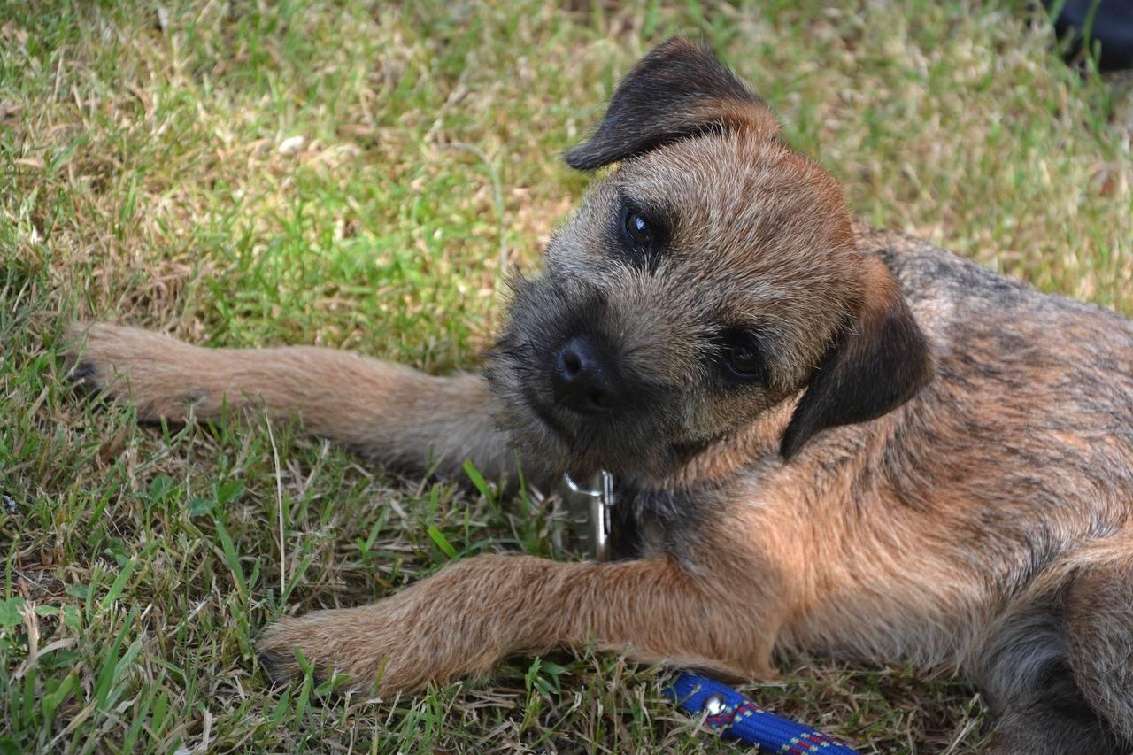 Бордер-терьер: фото собаки, описание породы