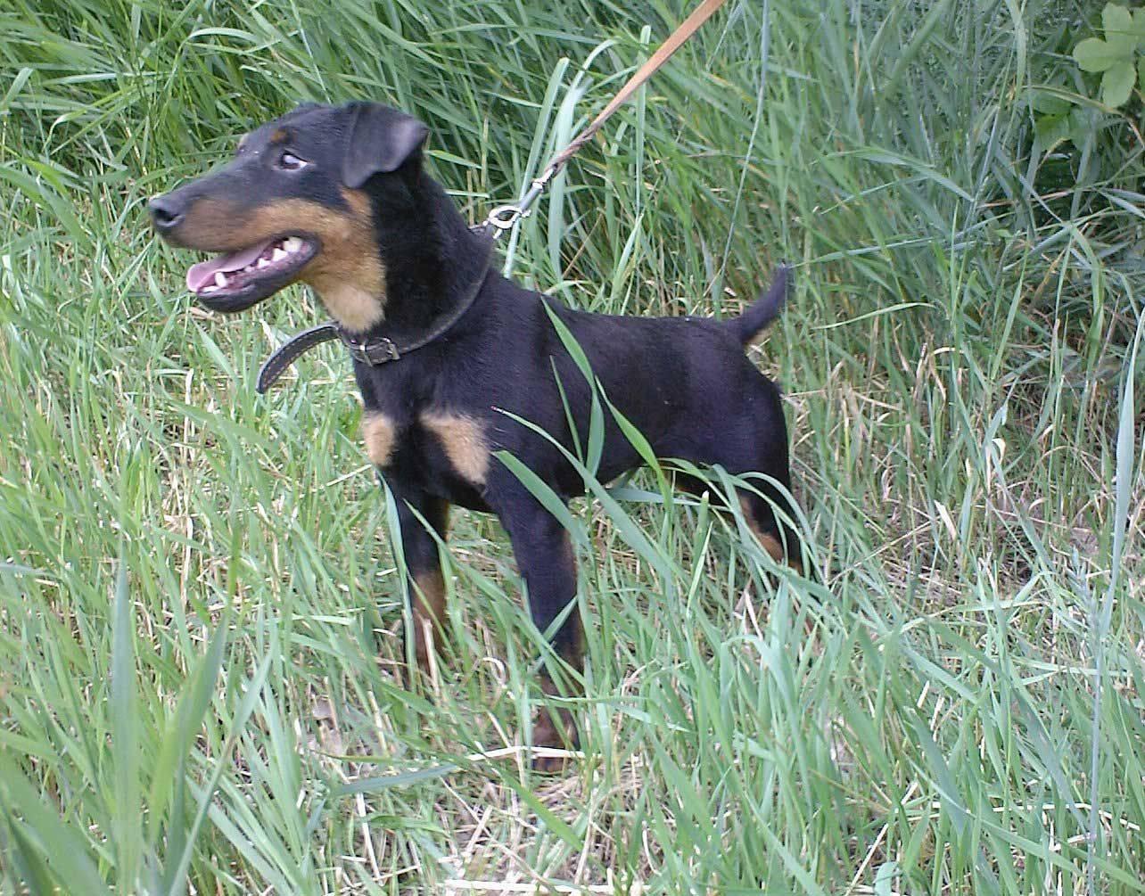 Немецкий ягдтерьер собака. описание, особенности, виды, уход и цена породы