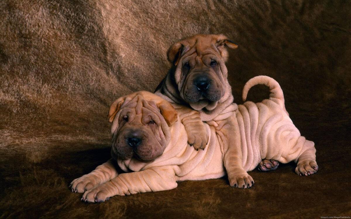 Самые спокойные породы собак: послушные и тихие питомцы