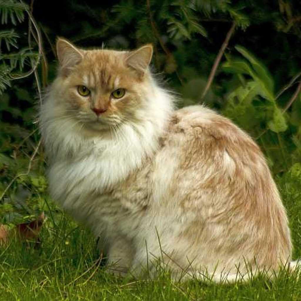 Рагамаффин – пушистый тяжеловес и кот-оборванец
