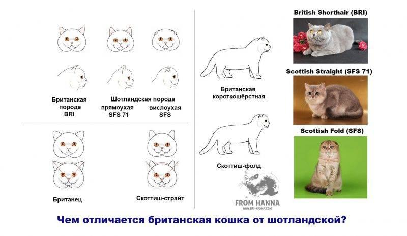 Шотландский кот: описание породы и характер