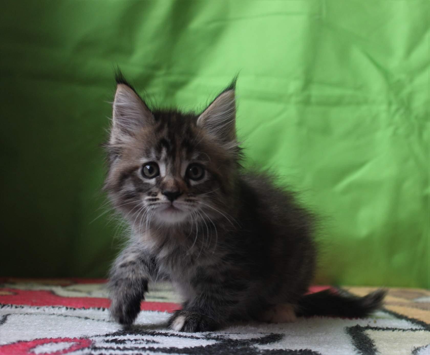 Белый мейн - кун: фото кошки с этим окрасом, котята с голубыми глазами, проблемы и характер, особенности питания и подходящие клички