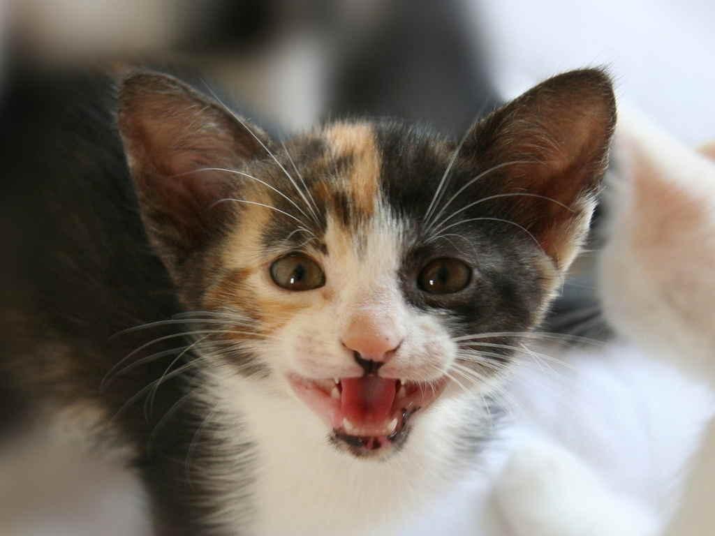О чем хочет рассказать ваша кошка (часть 2) - кошка, животные, кот, мяуканье, кошачий язык