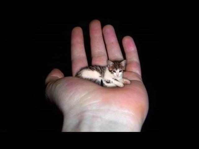Породы маленьких котят: карликовые и мелкие животные, примеры которые не растут