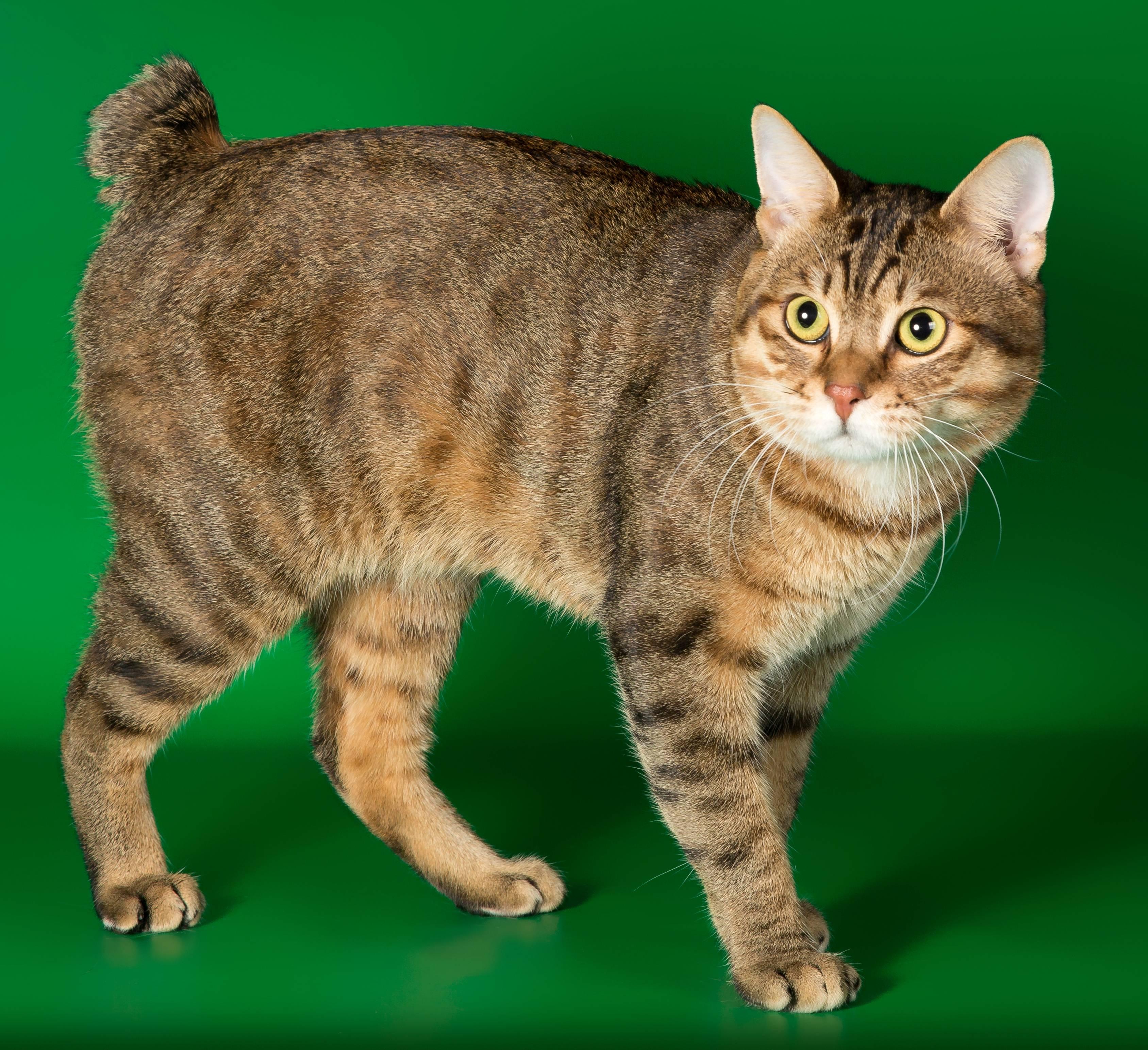 Бесхвостые породы кошек: миниатюрные рыси и яркие индивидуальности