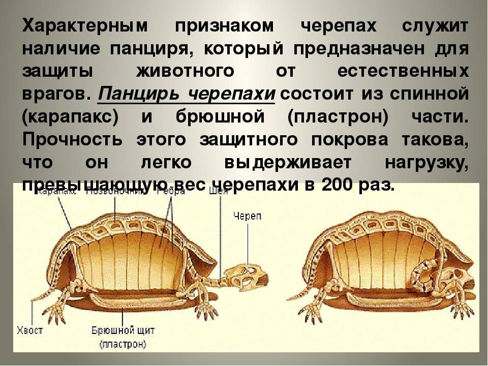 Все о европейской болотной черепахе: что едят, как содержать в домашних условиях