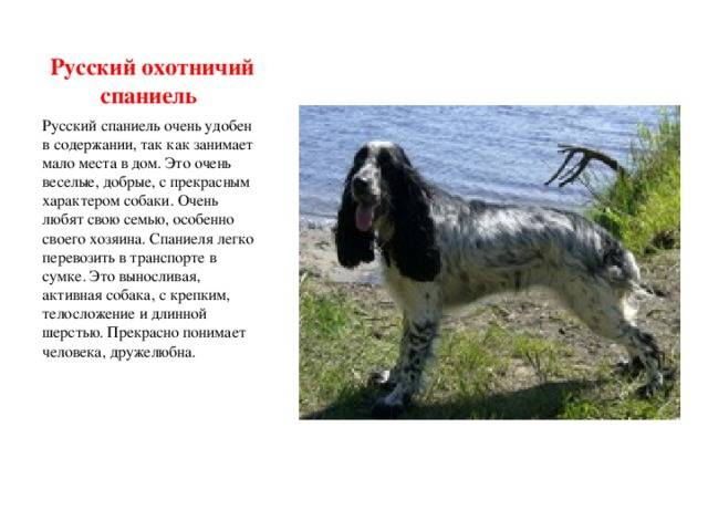 Порода русский спаниель: характеристики, содержание, кормление
