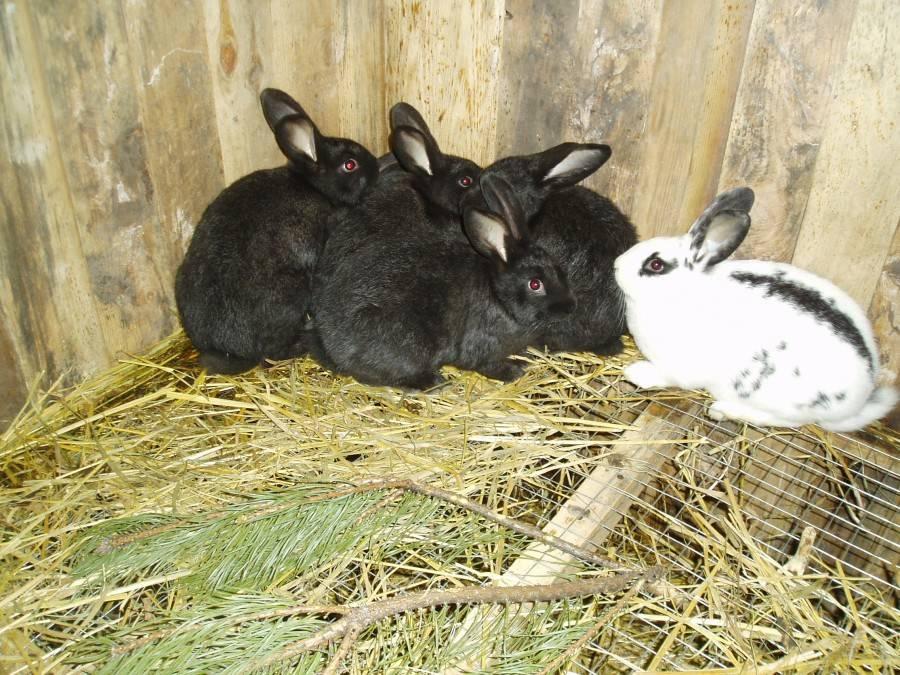 Кролик породы строкач: описание породы, уход и разведение