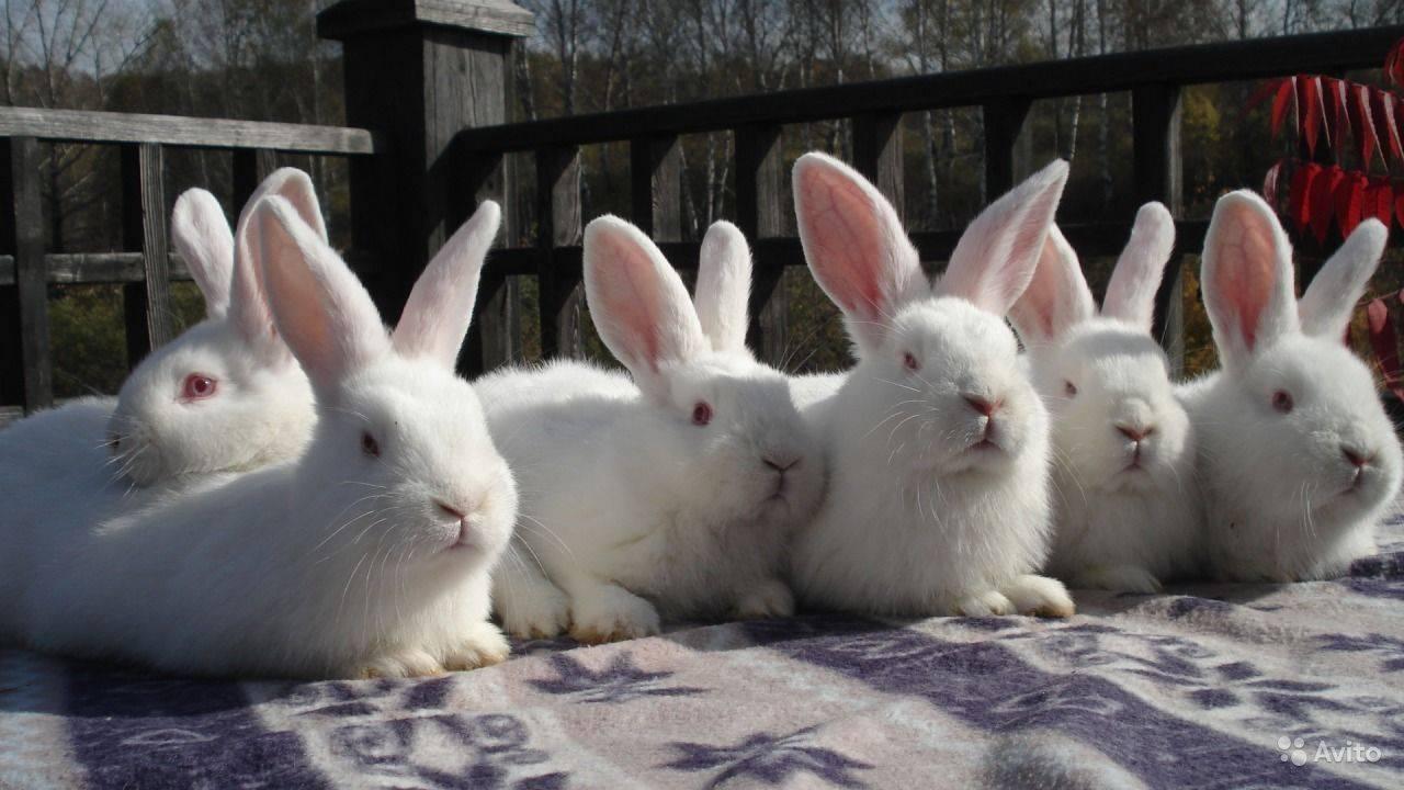 Красный кролик - новозеландский, характеристика и описание породы нзк