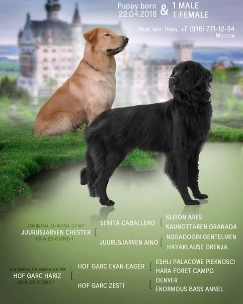 Порода собак ховаварт — особенности вида, правила содержания и прочие аспекты + фото и видео