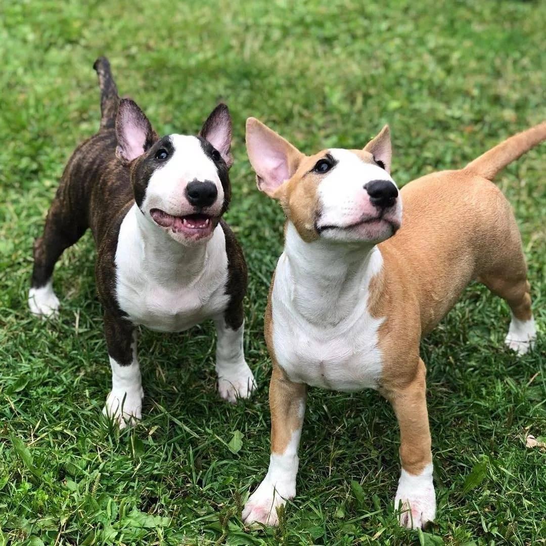 Миниатюрный бультерьер собака. описание, особенности, уход и цена миниатюрного бультерьера | животный мир