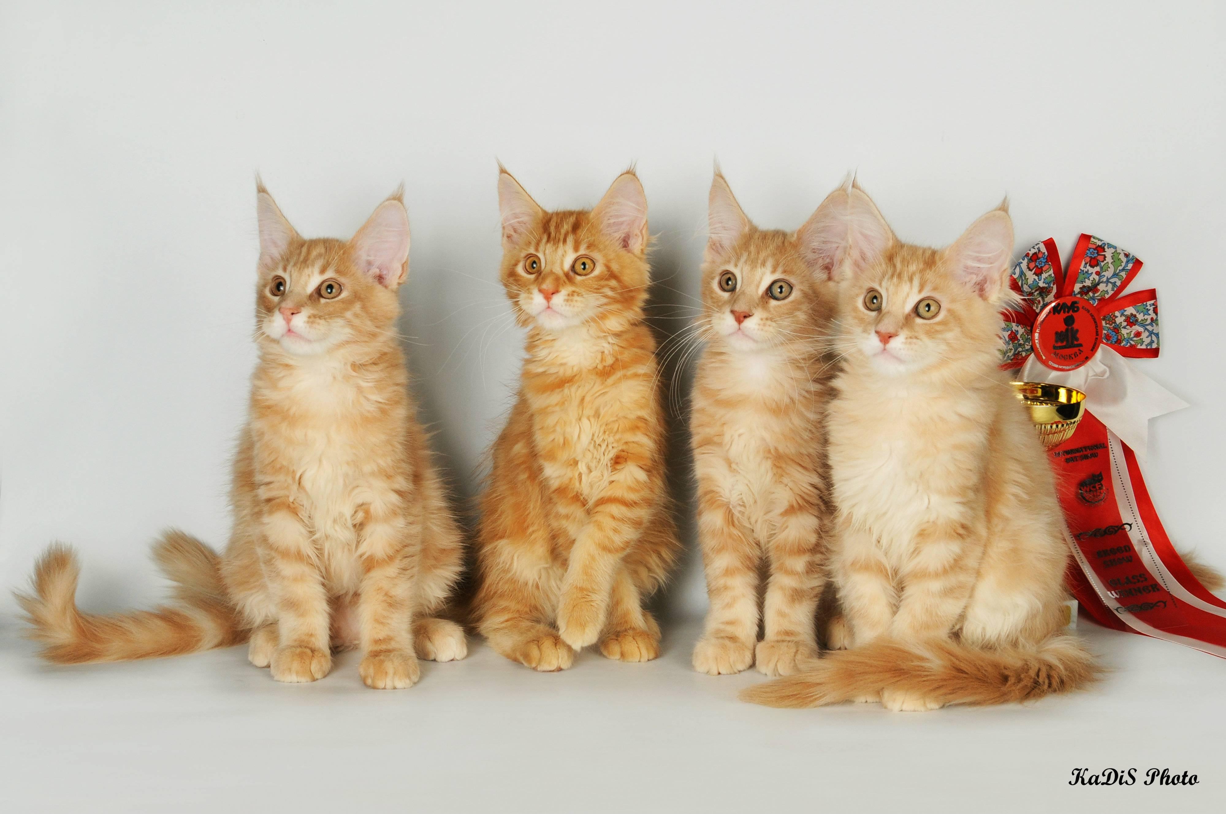 Топ 15: самые популярные породы кошек 2020 [фото и названия]