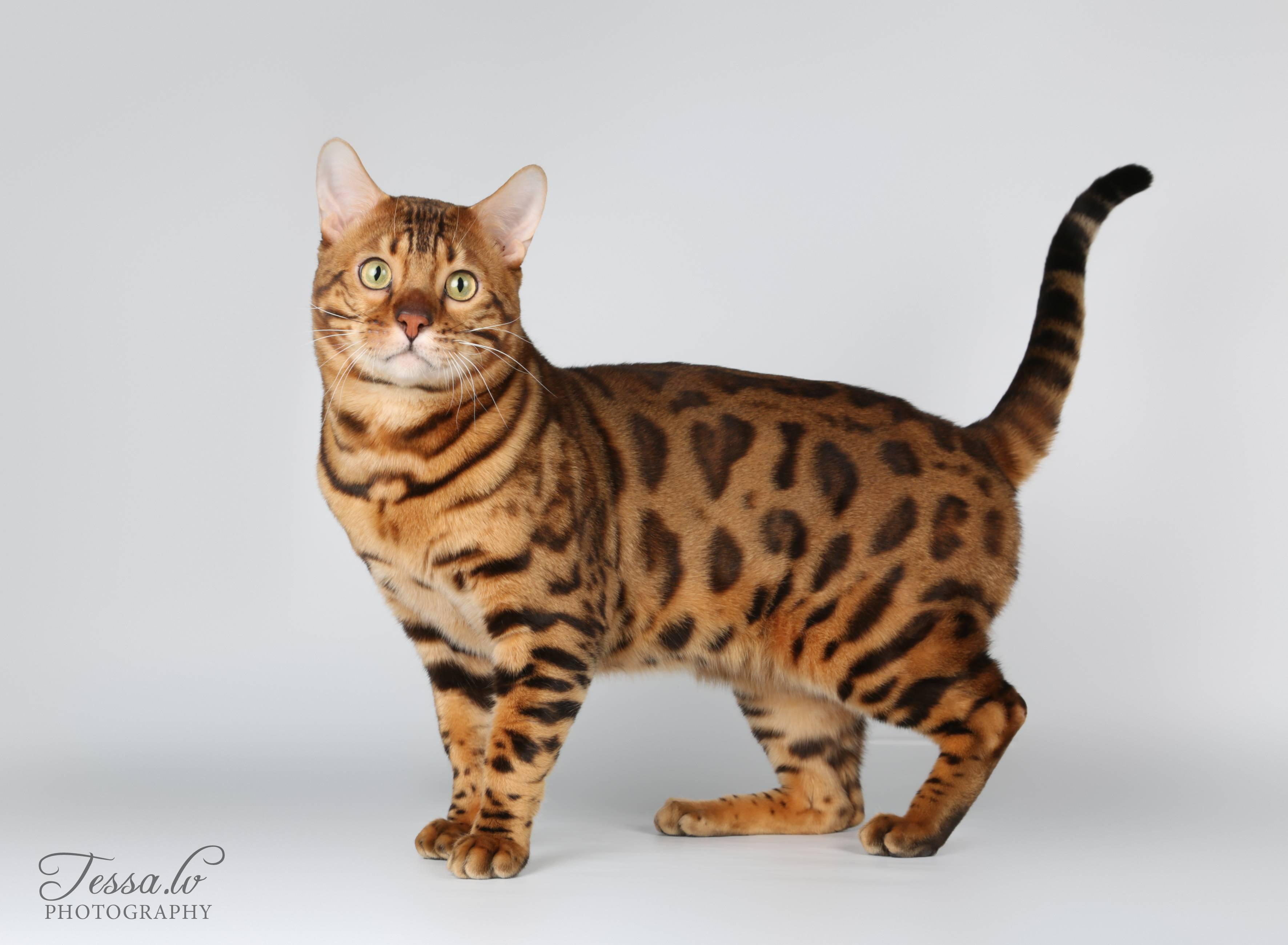 Тойгер: описание уникальной породы кошек с фото и видео