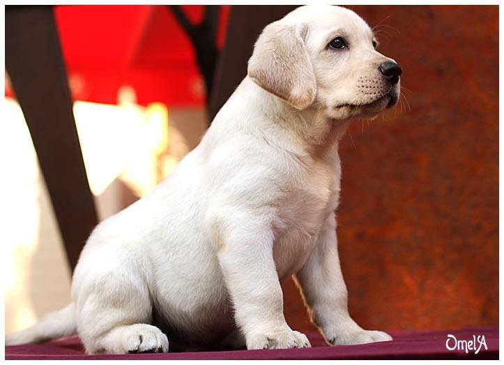 Имена для собак лабрадора, мальчиков и девочек